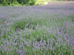 Carpet of Lavender